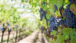 I Migliori Vini della Puglia, dal Primitivo al Negramaro